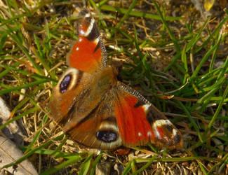 Peacock at ease by Stilleschrei