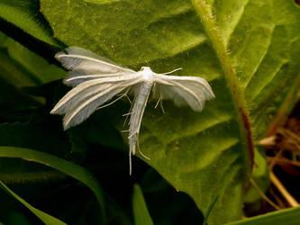 The white plume moth by Stilleschrei