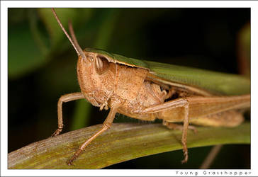 Young Grasshopper by bjigg