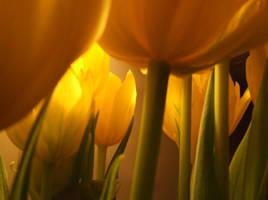 Tulips by van-tango