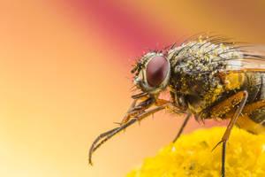 Fly on pollen by Kuvailija