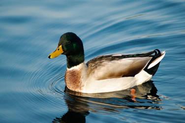 duck by Tiestodj