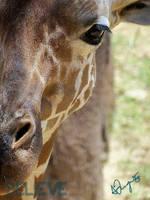 Giraffe - V by BelievePhotography