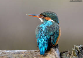 King Fisher day - 4 by assincr0n0