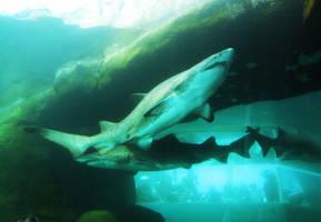 sand tiger sharks by ascenciok