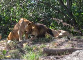 Lion Cuddle by ascenciok