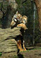Baby Tiger 3 by ascenciok