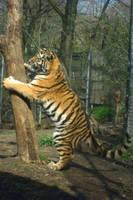Baby Tiger with Tree by ascenciok