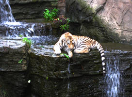 Baby Tiger with Waterfall 3 by ascenciok