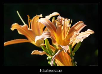 Hemerocalles by lasaucisse