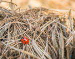Project 365 - #213 - Ladybug in a haystack by Kiotho