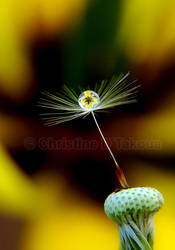 dandelion by dini25