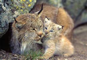 Lynx kitten by VeliasandBrianyaoi