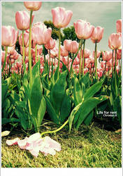 Tulip for rent by binbinzai