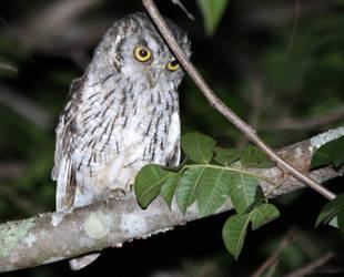 Tropical Screech-Owl by BrunoDidi