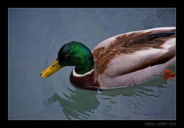 Mallard Duck by Usabell12
