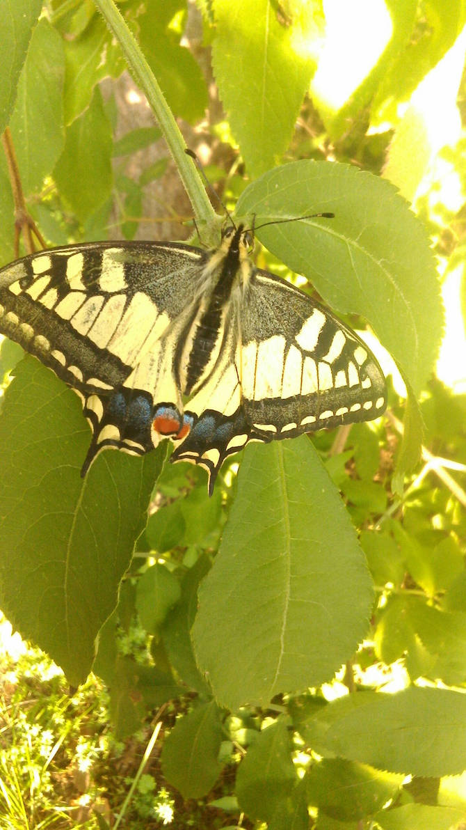 Machaon on leaves by KrisFirst