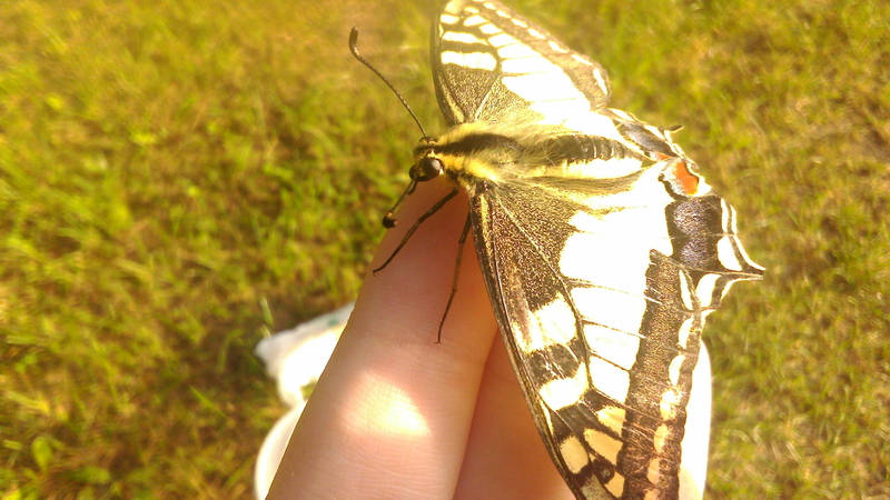 Machaon by KrisFirst
