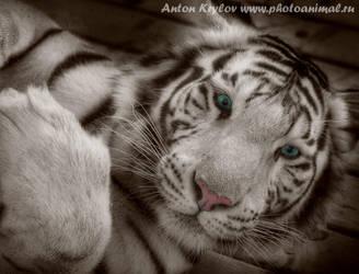 Tiger tiger tiger by Jagu77