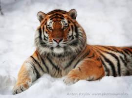 The tiger by Jagu77