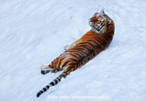Tiger on the snow 6 by Jagu77
