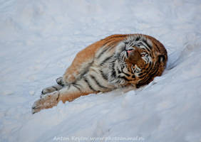Tiger 2 by Jagu77