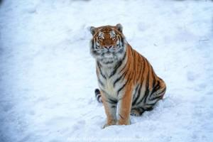 Shy tiger by Jagu77