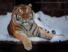 Portrait of tiger by Jagu77