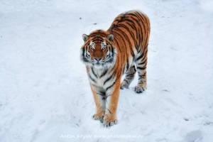 Tiger on the snow 7 by Jagu77