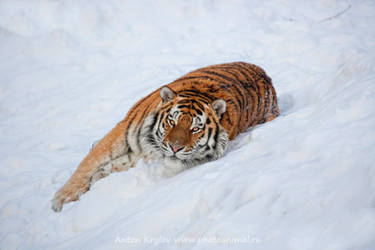 Tiger on the snow 8 by Jagu77