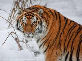 Tiger classic by Jagu77