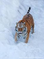 Mrrrr Tiger by Jagu77