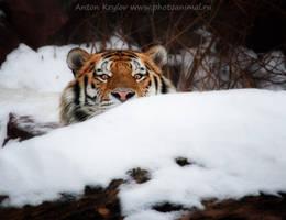 Gaze of tiger 3 by Jagu77