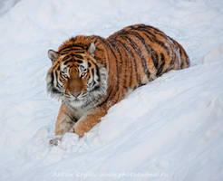 Tiger on the snow 8 by Jagu77