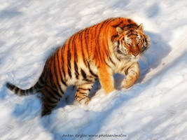 Tiger on the snow 9 by Jagu77