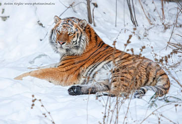 Tiger on the snow 10 by Jagu77