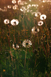 Dandelions by Dobbylove