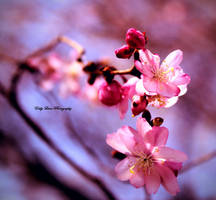 Cherry Blossom by MyLifeThroughTheLens