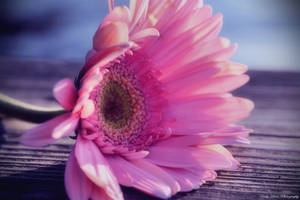 Pretty in Pink by MyLifeThroughTheLens