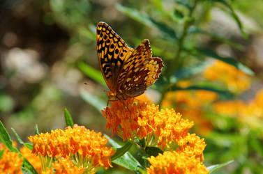 Orange butterfly_butterfly- weed-12-jpg by Grace-love-kindness