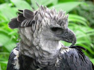 TheHarpyEagle's Profile Picture