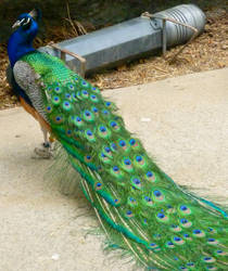 Peacock! by puffugu