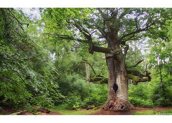 The Oak Elder II by Limaria