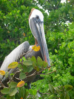 Galapagos : Pelican 2 by OnyxSerpent