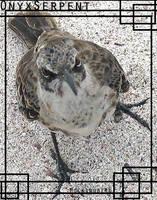 Annoyed Mockingbird ID by OnyxSerpent