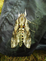 Moth 1 by wodny
