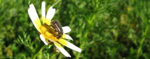 Coleopteran Voracity by dracontes