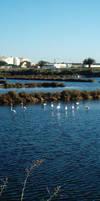 Flamingo Flock by dracontes