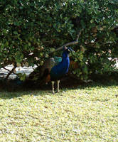 Peacock Surveying by dracontes