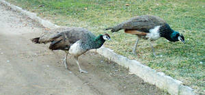 Peafowl Foraging 1 by dracontes